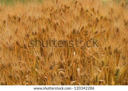 Yellow wheat - stock photo