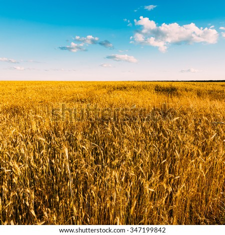 Yellow Wheat Ears Field On Blue Sunny Sky Background