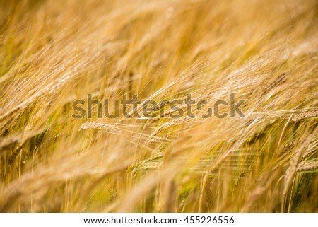 Yellow wheat field close up macro photograph with abstract texture