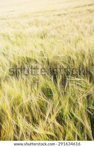 Yellow wheat field in the sunset. Agricultural seasonal theme. - stock photo