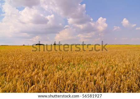 yellow wheat ready to be harvested on the farm - stock photo