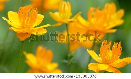 yellow wild flower - stock photo
