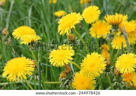 Yellow wild flower dandelion during summer flowering/yellow dandelions - stock photo