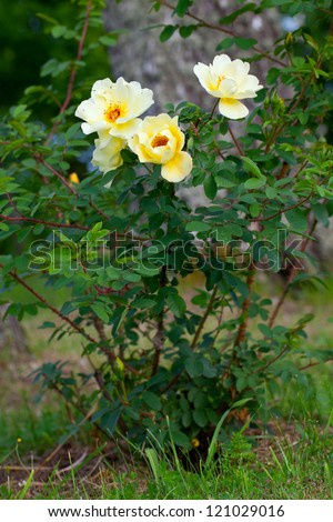 yellow wild rose in the garden - stock photo