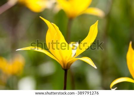 Yellow wild tulip (Bieberstein Tulip) in its natural habitat  - stock photo