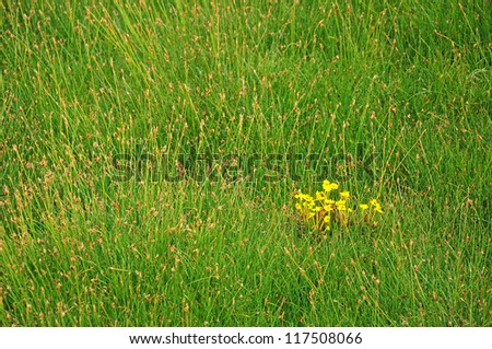Yellow wildflower on green grass background at Ladakh, India - stock photo
