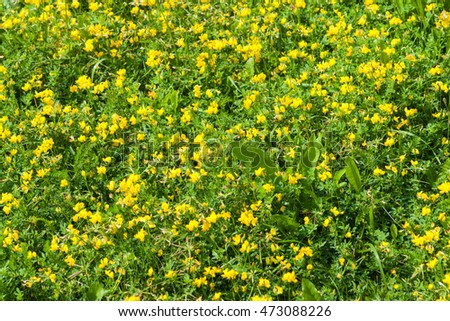 Yellow wildflowers, green grass and leaves of a ribwort or rib grass, also known as psyllium, or plantain, or plantago lanceolata