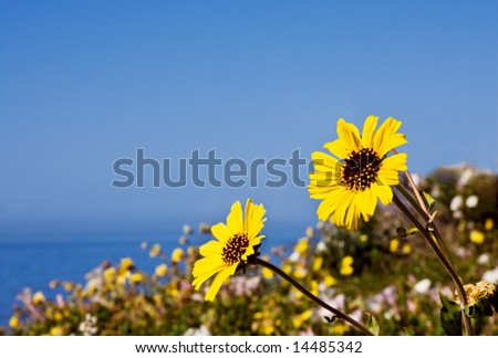 Yellow wildflowers growing along the central California coastline. - stock photo