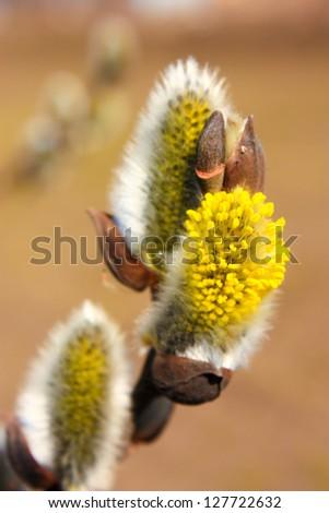 Yellow willow flowers macro view, shallow depth of field - stock photo