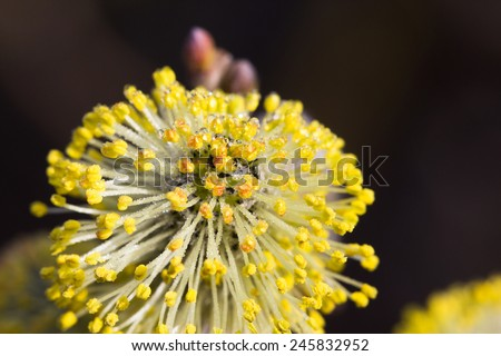 Yellow willow flowers on the branch in spring forest. - stock photo