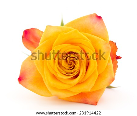 Yellow with red rose isolated on white - stock photo