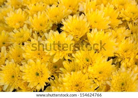 Yellow, yellow flowers. - stock photo