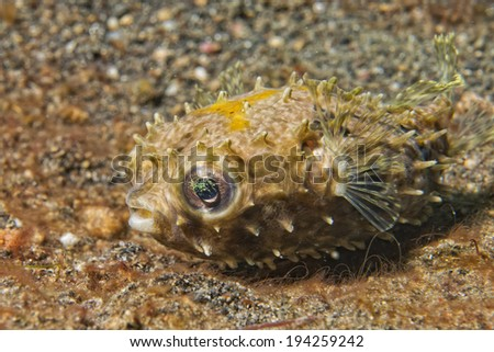 Yellow young puffer fish portrait while diving in indonesia - stock photo