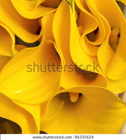 yellow Zantedeschia - stock photo