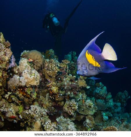 Yellowbar angelfish - stock photo
