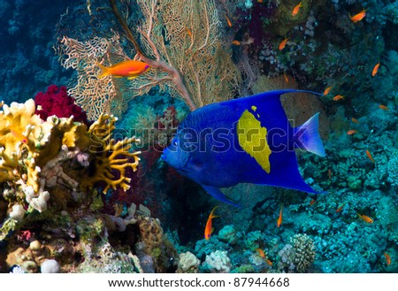Yellowbar Angelfish (Pomacanthus maculosus) on a coral reef in the Red Sea, Egypt. - stock photo