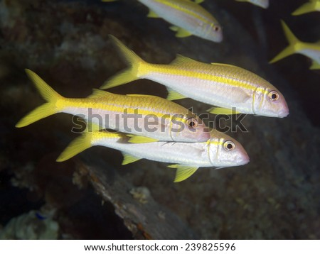 Yellowfin goatfish in Red sea, Egypt - stock photo