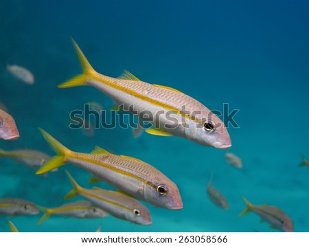 Yellowfin goatfish (Mulloidichthys vanicolensis) school swimming in the tropical sea, selective focus, shallow depth of field - stock photo