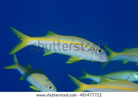 Yellowfin goatfish (Mulloidichthys vanicolensis) underwater in the tropical waters of the Red sea