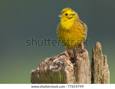 Yellowhammer on a pole