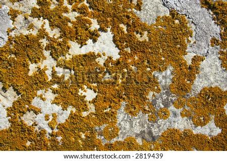 yellowish lichen growing on a rock - stock photo