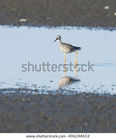 yellowleg wading in shallow ocean waters