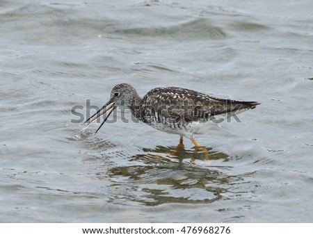Yellowlegs swallowing a fish