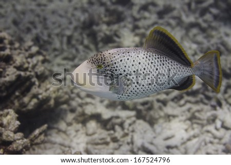 Yellowmargin triggerfish at Surin national park in Thailand - stock photo