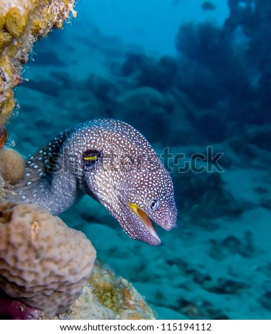 Yellowmouth Moray Eel Looks out through a hole on a coral reef - stock photo