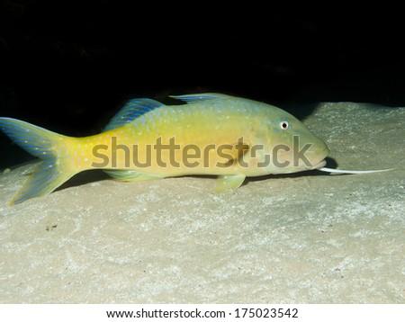 Yellowsaddle goatfish   - stock photo