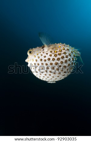 Yellowspotted burrfish in the Red Sea - stock photo