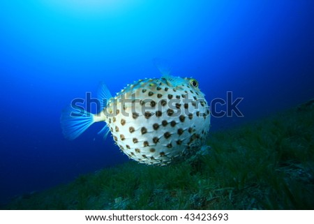 Yellowspotted Burrfish puffed up to defend itself. There was a large grouper nearby which had probably caused it to do this - stock photo