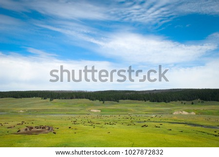 yellowstone and bison