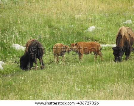 Yellowstone bison calves