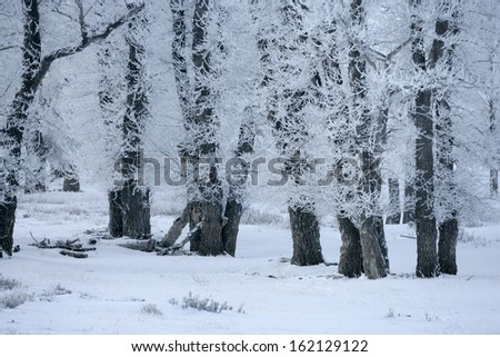 Yellowstone National Park in winter, frost coverd trees
