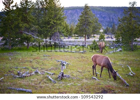 Yellowstone Wildlife. Spring in the Yellowstone. Landscape with Deers. - stock photo