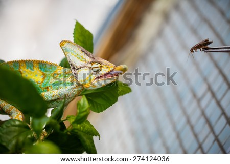 Yemen chameleon is sitting on the branch  and hunting the cockroach - stock photo