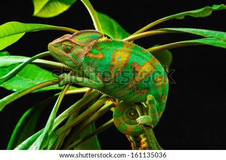 Yemen chameleon isolated on black background - stock photo