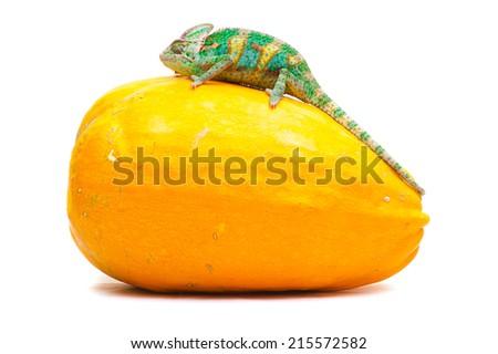 Yemen chameleon on a pumpkin - stock photo