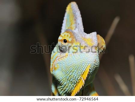 Yemen Chameleon watching close-up - stock photo