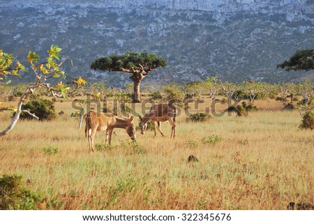 Yemen, donkeys (Equus asinus) on the Socotra island in the wild at sunset time