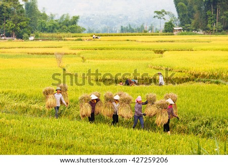 Yen Bai, Northwest, Vietnam, May 18,2016: Farmer harvesting rice in the field. Agricultural products accounted for 30 percent of exports in vietnam