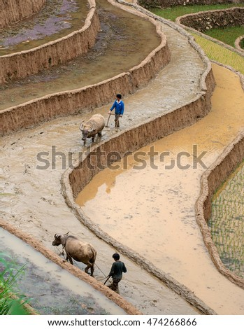 YEN BAI, Vietnam, July 14, 2016 man, H'mong, highland Yen Bai, plowing with the above, the terraced fields, rice cultivation season