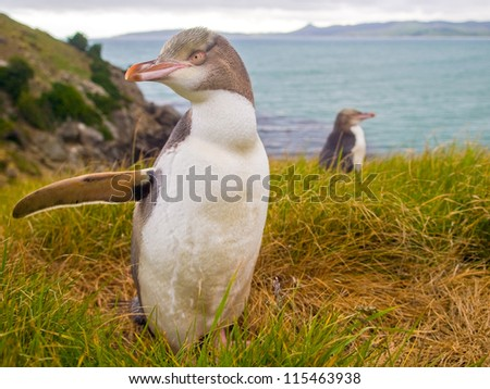 YEP is a penguin native to New Zealand.This species of penguin is endangered, with an estimated population of 4000