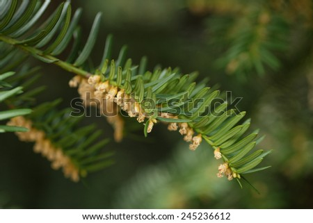 Yew or Taxus baccata green leaves and flowers, close up - stock photo