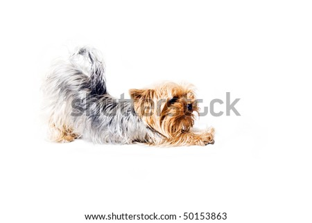 york dog in the morning - stock photo