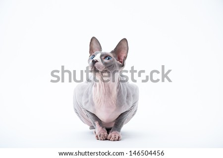 York, hairless cat, looking sideways on white background - stock photo