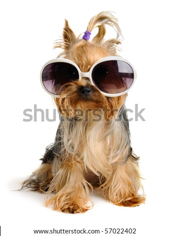 yorkie in the glass - stock photo