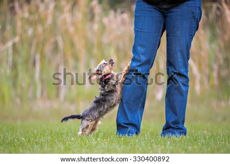 Yorkie jumping up at owners legs - stock photo