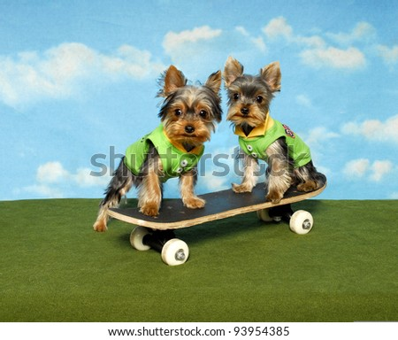 Yorkie puppies on a Skate Board - stock photo